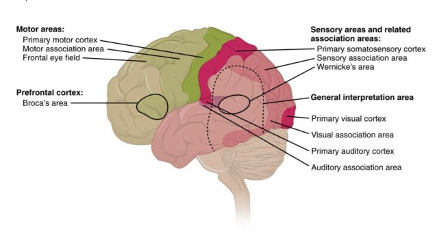 types of cortical areas