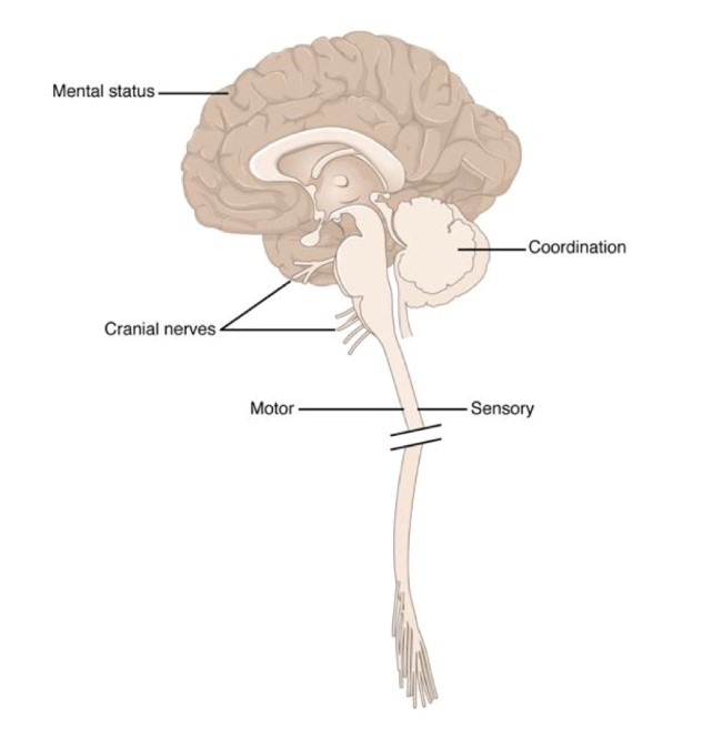 Anatomical Underpinnings of the Neurological Exam