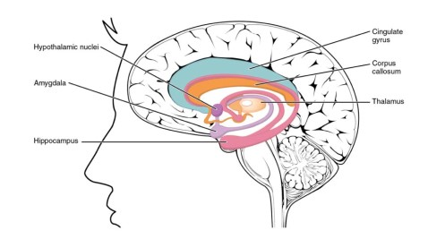 limbic structures
